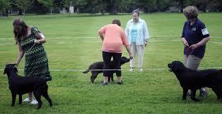 belgian sheepdog crossword maine dogs work like champions portland press herald