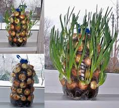 How To Plant Vertical Garden - how to grow onions vertically on the windowsill home design