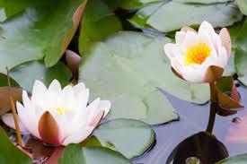 Lotus Flower In Muddy Water - lotus flower meaning flower meaning