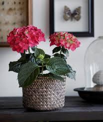 10 tips caring for flowering indoor plants my garden life