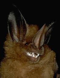 golden bat wikipedia