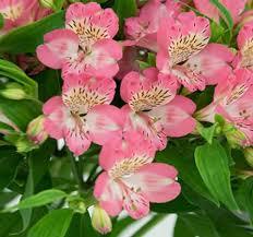 alstroemeria flower alstroemeria lovetoknow