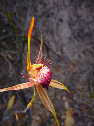 west australian native plants wildflowers of the stirling ranges best wildflowers in western