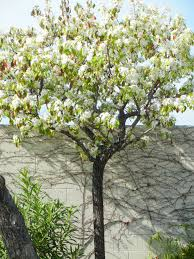 ornamental pear tree los angeles affair