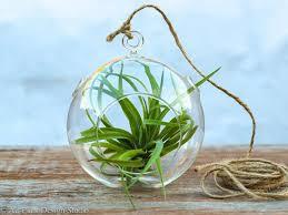 brachycaulos simplicity air plant terrarium air plant design studio