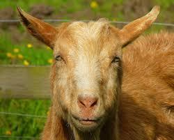 birding for pleasure good fences goats at blessingbourne house