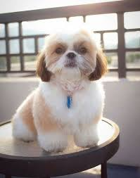 list of shih haircut best 25 toy shih tzu ideas on pinterest shih tzu puppy shitzu
