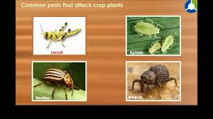 Tropical Plants Pests Common Pests That Attack Crop Plant Youtube