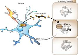 transcellular chaperone signaling an organismal strategy for