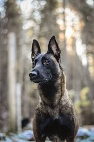 belgian shepherd ears 4000 best a כלבים 3 images on pinterest animals dogs and puppies