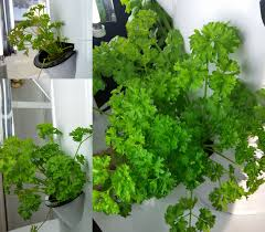 tower garden parsley a difference of 23 days in growth grown
