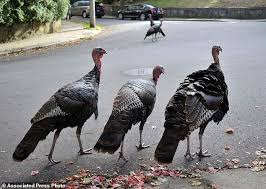 boston hit by of gangs of turkeys daily mail