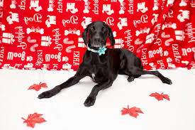pet christmas farfel fetch pet photography