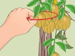 3 ways to grow lemon trees indoors wikihow