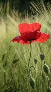 download wallpaper 1080x1920 poppies field spikes summer