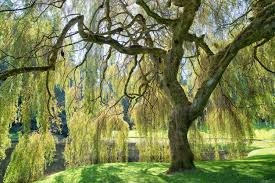 weeping willow information learn about caring for a weeping