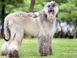 afghan hound breeders victoria search locally for welsh terrier breeders nearest you