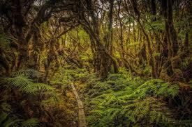 trouble in paradise a blight threatens key hawaiian tree yale e360