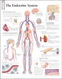 3d Head Anatomy Human Anatomy Anatomy Skecth Human Body Vector Organ Male Female