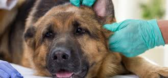 Do Bed Bugs Get On Dogs Here U0027s What You Need To Do If Your Dog Is Stung By A Bee Barkpost