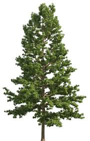 pine realistic tree png clip best web clipart