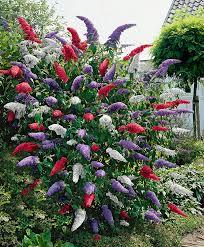 17 low maintenance perennials butterfly bush summer garden and