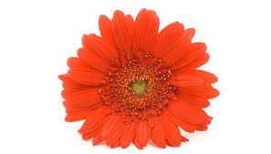 gerbera colors how to get a gerbera to bloom garden guides