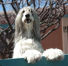 afghan hound king of dogs 68 best afghan hounds images on pinterest afghan hound afghans