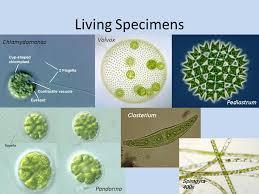protists i u0026 ii lab 4 biol 171 use protists in a u201cqualitative