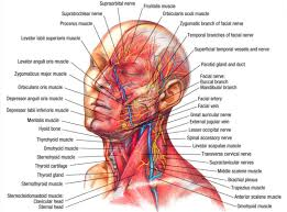 anatomy face and neck diagram system muscle archives page 24 of