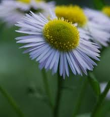 Daisy The Flower - 40 best flowers by the fence images on pinterest fence flowers
