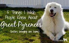 great pyrenees rescue provides wonderful dogs to good homes so you want a great pyrenees it s dog or nothing