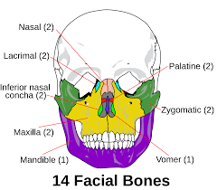 Parts Of Ethmoid Bone Skeleton Wikipedia