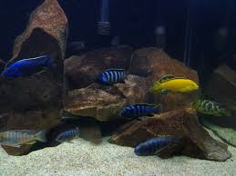 99 best fish tank images on pinterest african cichlids tropical