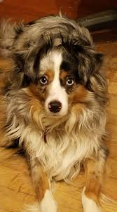 australian shepherd cost dog gone problems how do i get my dog to come when outside