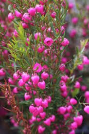 Fragrant Patio Plants - i love love love boronia so fragrant and romantic i wish it were