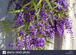 wisteria sinensis australian bush flower purple weeping stock photos u0026 purple weeping stock images alamy