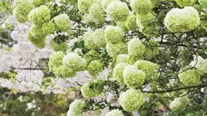 planting flowering shrubs elegant chinese snowball viburnum