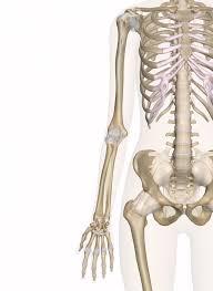 Knee Bony Anatomy Bones Of The Arm And Hand Interactive Anatomy Guide
