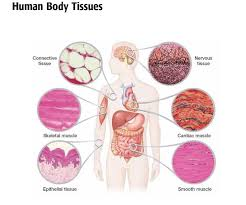 Anatomy And Physiology Introduction To The Human Body Best 20 Tissue Biology Ideas On Pinterest Red Art What Are