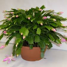 christmas cactus house plant identify cactus plants
