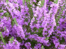 Purple Flowering Shrubs Home Design Inspirations