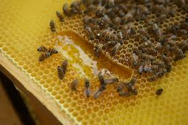 honeycomb edible why drones not honey might be the hive s most delicious
