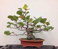 indoor gardening best bonsai trees for beginners