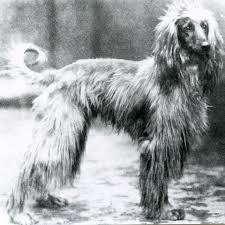 afghan hound arizona history eta pauptit and the vdom afghan hounds