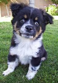 australian shepherd cattle dog norwich terrier dogs i want pinterest norwich terrier