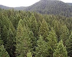 50 green douglas fir tree seeds pseudotsuga taxifolia