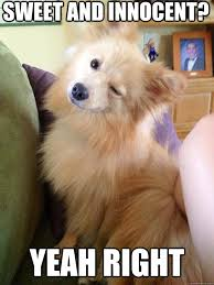Sweet Memes - sweet and innocent yeah right sneaky pomeranian quickmeme