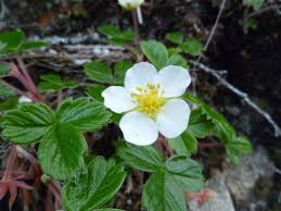 central coast native plants coastal strawberry u2022 fragaria chiloensis biodiversity of the