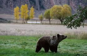 Hungry Bears Perishing On Western Montana Highways Local - grizzly bear cub killed on u s highway 93 near ronan local